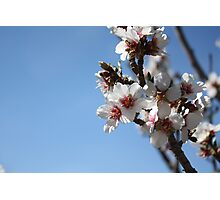 Apricot Tree Blossoms Photographic Print