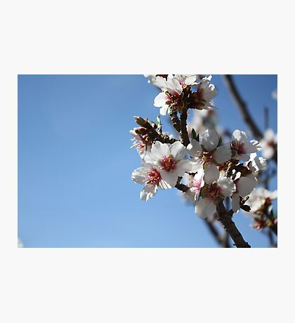 Apricot Tree Blossoms Photographic Print