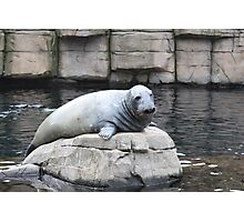 The seal Photographic Print