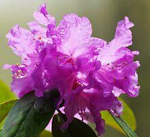 Azalia blossom.. by FotoBloke