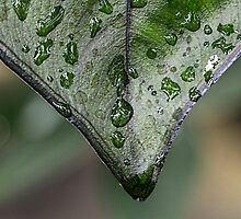 Abstract Leaf with Raindrops by Pixie Copley LRPS