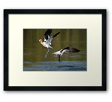 Avocet Fight Framed Print