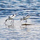 Avocets by mikebov