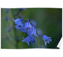 Spanish Bluebells Poster