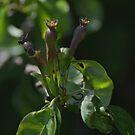 Proto-Pears by WatscapePhoto