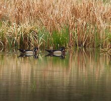 Early Morning Wood Ducks by Thomas Young