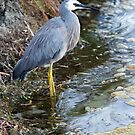 White Faced Heron- P by mncphotography