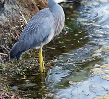 White Faced Heron- Portrait by mncphotography