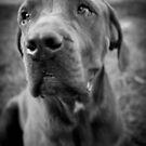 Zeus - Cane corso by Irma Calabrese