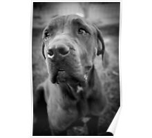 Zeus - Cane corso Poster