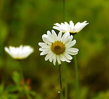 Ox-Eye Daisy by Vickie Emms