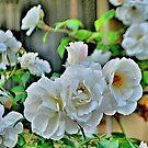 WHITE ROSES by Margaret Stevens