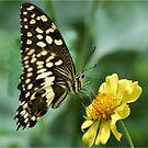 """CITRUS SWALLOWTAIL – Papillio demodocus demodocus - Die """"SITRUS SWAELSTERT VLINDER"""" by Magriet Meintjes"""
