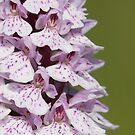 Heath Spotted-orchid by Neil Bygrave (NATURELENS)
