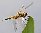 Four-spotted Chaser Dragonfly by Neil Bygrave (NATURELENS)