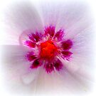 Vinca Rosea Closeup by ©The Creative  Minds