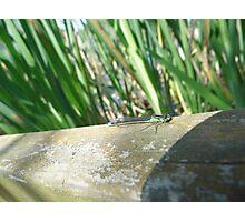 Green Damselfly Photographic Print