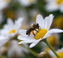 Pollen Sac by Valerija S.  Vlasov