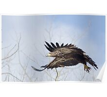 Eagle Wings Poster