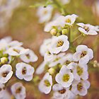 Alyssum by MarthaBurns
