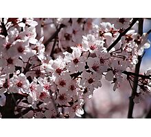 Japanese Cherry Tree (4) Photographic Print