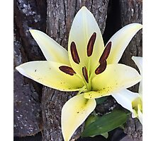 Simply Beautiful White Lily Photographic Print