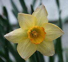 April Showers Bring May Daffodils by Righteous Zombie Photography