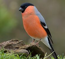 Male Bullfinch (Pyrrhula pyrrhula) by Peter Wiggerman
