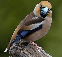 Hawfinch by Peter Wiggerman