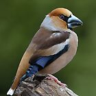 Male Hawfinch (Coccothraustes coccothraustes) by Peter Wiggerman