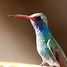 broad billed hummingbird by Dennis Cheeseman