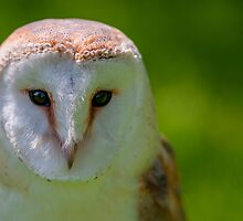 Barn owl in colour looking right by cuttlefish714