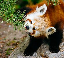 Red Panda Tongue by PatiDesigns