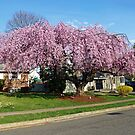 Weeping Cherry by Bine