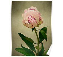 Peony Rose Poster