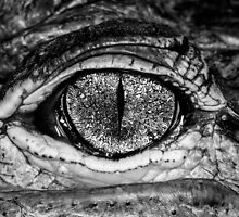 American Alligator, a little closer by Symbiosis - Justin Brosey
