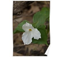 Spring Forest Walk Treasures - White Trillium Flower Poster