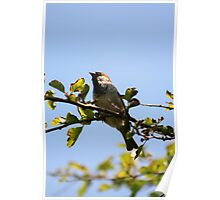 Singing Sparrow Poster