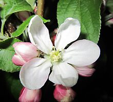 Apple blossom white by Eleanor11