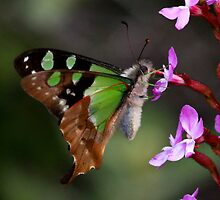 Macleay's Swallowtail  Mount Baw Baw  Vic by john  Lenagan