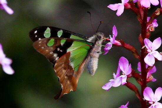 Macleay's Swallowtail  Mount Baw Baw  Vic by john  Lenagan