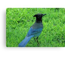 What a stellar jay! Canvas Print