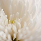 Chrysanthemum by Crystal Zacharias