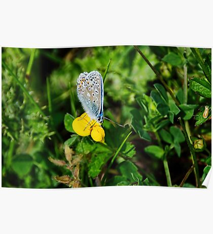 Silver-Studded Blue Butterfly Poster