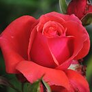 Pink Roses by Jonice