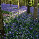 Bluebells at Sunset by SWEEPER