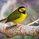 Hooded Warbler by Michael Cummings