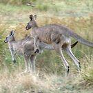 On the Hop, Eastern Grey Kangaroos, Halls Gap, Victoria by Adrian Paul