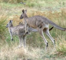 On the Hop, Eastern Grey Kangaroos, Halls Gap, Victoria by Adrian Paul