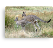 On the Hop, Eastern Grey Kangaroos, Halls Gap, Victoria Canvas Print